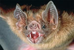 vampire-bat1
